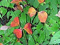 Toxicodendron radicans 3 (5098010384).jpg