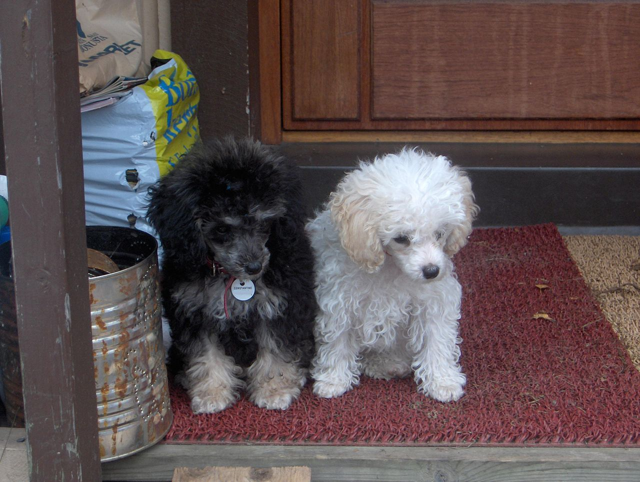 Toy Poodle Puppy Dogs : File toy parti poodle puppies g wikimedia commons