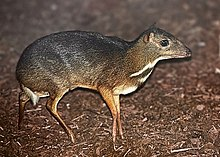 A mouse deer, which looks like a mouse with tiny stilt-like deer legs.