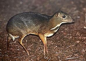 Kleinkantschil (Tragulus javanicus)
