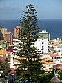 Tree Tenerife.JPG