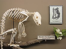 matschies tree kangaroo skeleton on display at the museum of osteology oklahoma city oklahoma