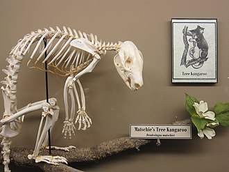 Matschie's tree-kangaroo - Matschie's tree-kangaroo skeleton on display at the Museum of Osteology, Oklahoma City, Oklahoma.