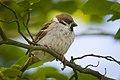 Tree sparrow (28139612788).jpg