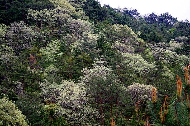Fig Trees Japan
