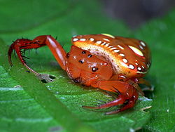 Triangular Spider Arkys sp.jpg