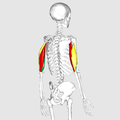 Triceps brachii muscle02.png