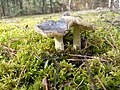 Tricholoma portentosum - Gąska niekształtna (ŁE).jpg