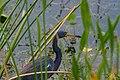 Tricolored heron (24170335852).jpg