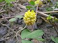 Trifolium campestre flowerhead4 (10620891556).jpg