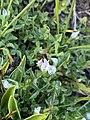 Trifolium monanthum 85008541.jpg