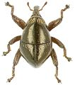 Trigonopterus simulans holotype - ZooKeys-280-001-g078.jpg