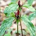 Trillium recurvatum AR.jpg