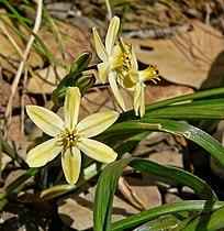 Triteleia ixioides ssp scabra 3.jpg