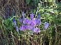 Triteleia laxa 4.jpg