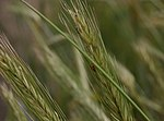 Triticum-durum-ear.JPG
