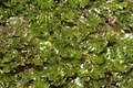 Tritomaria exsecta (a, 113252-471408) 6920.JPG
