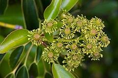 Trochodendron aralioides 2.jpg