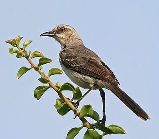 Tropical mockingbird species of bird