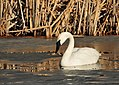 Trumpeter Swan on Seedskadee NWR (25570474205).jpg