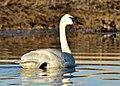 Trumpeter swan on Seedskadee National Wildlife Refuge (33665860416).jpg
