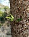Trunk of a Neem Tree.jpg