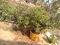 Tulasi Plant.jpg
