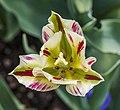 Tulipa Viridiflora 'Flaming Springgreen', Jardín Botánico de Múnich, Alemania, 2013-05-04, DD 01.jpg