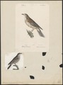 Turdus viscivorus - 1700-1880 - Print - Iconographia Zoologica - Special Collections University of Amsterdam - UBA01 IZA1000770.tif