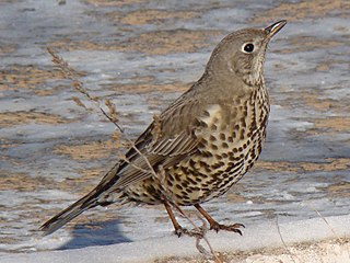 Mistle thrush A bird in the family Turdidae from Europe, Asia and North Africa
