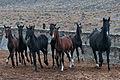 Turkmen Studfarm - Flickr - Kerri-Jo (31).jpg
