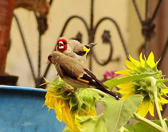 European goldfinch - Two C. c. caniceps in Tabo, Himachal Pradesh