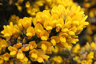 Ulex europaeus - Image: Ulex europaeus flowers