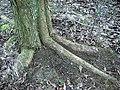 Ulmus laevis, incipient buttressing.jpg