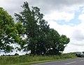 Ulmus minor 'Plotii', near Calceby, Lincolnshire. July 2016.jpg