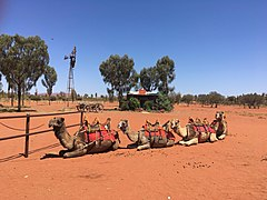 Uluru camel farm 1.jpg