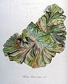 Ulva latissima — Flora Batava — Volume v8.jpg