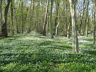 Ulvshale - Ulvshale Forest in the spring