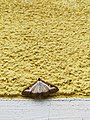 Unidentified-butterfly-20190610-145450.jpg