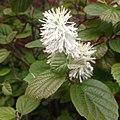 Unidentified White Flower.jpg