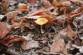 Unidentified fungi, delden, overijssel, the netherlands43.JPG