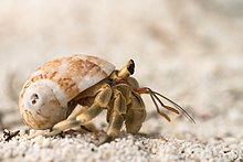 Unidentified hermit crab by Rushen.jpg