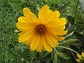 Unknown Helianthus flower from above.jpg