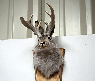 Jackalope - Jackalope taxidermy mount in a restaurant in Kansas
