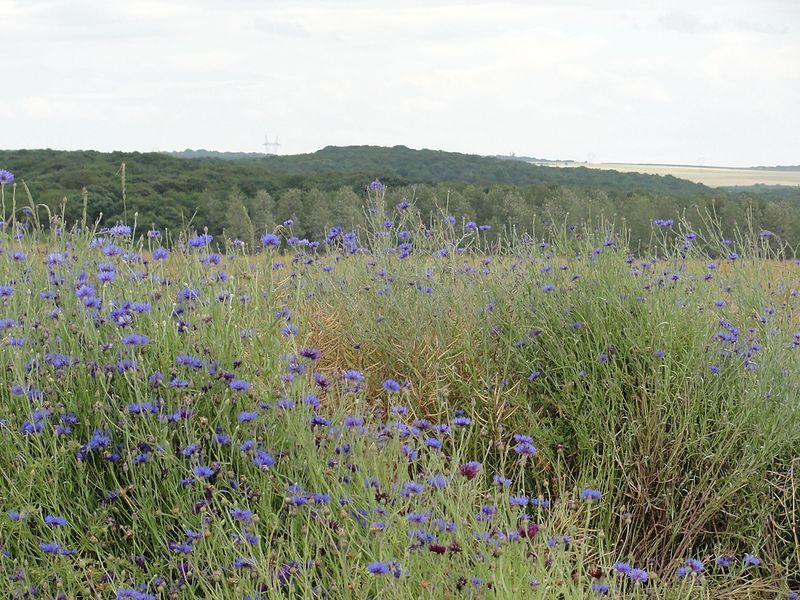 Vélaine-sous-Amance (M-et-M) paysage aux bleuets