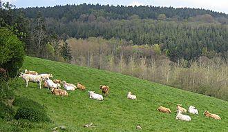 Val de Saire - Cows and trees in the Val de Saire near the village of Le Vast