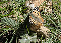 Vanessa cardui - Painted lady 01.jpg
