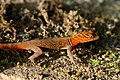 Variegated (Brilliant South American) gecko (Gonatodes ceciliae) male.jpg