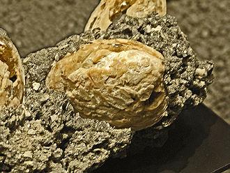 Mercenaria - Fossil shell of Mercenaria permagna. Pleistocene of United States