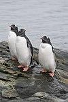 Vernadsky Station Winter Island Antarctica Gentoo Penguins 2 (47284557102).jpg